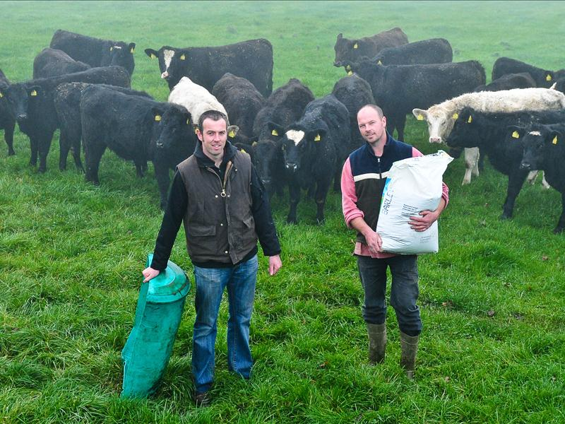 The Lad's with some Kerry cows